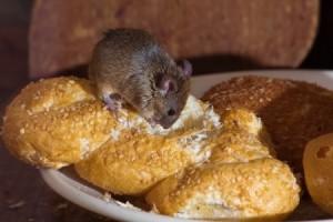 Rodent Control in Walpole MA