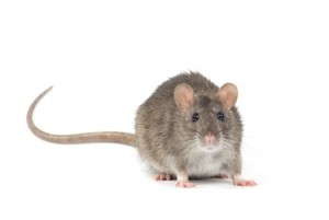 Mice - Pest Control Services in Walpole MA