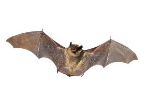 Removal Services in Natick MA - Bats