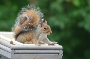 Squirrel Removal in Ashland MA